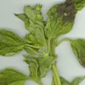 Fig. 3B-Basil Mildew-DMM