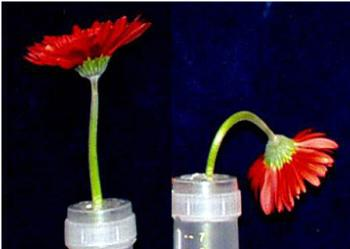 Stem failure in gerbera seems to be the result of both mechanical weakness and excessive water loss in the sensitive region of the stem. Photo M. Reid