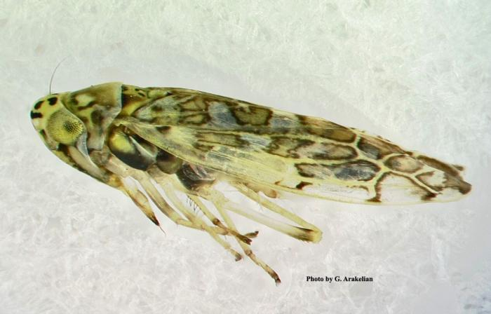 Ligurian_Leafhopper_Figure_1