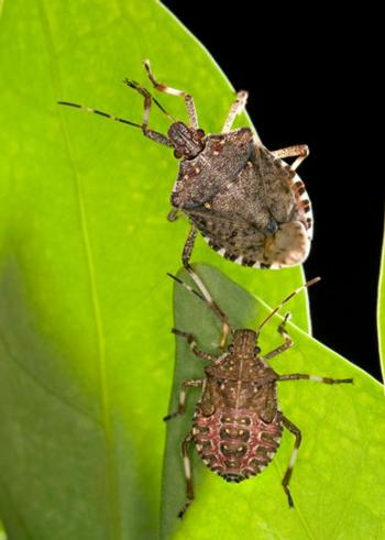 Fig. 1. Brown marmorated stink bug adult (top) and fifth instar nymph (bottom). Photo by Stephen Ausmus: USDA-ARS.