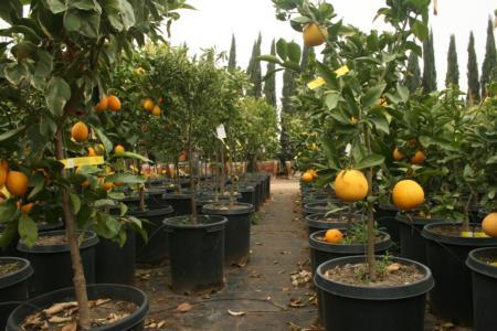 ACP Citrus fig 2
