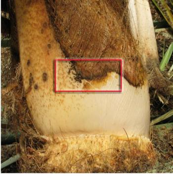 Fig. 1. Palm frond with canker caused by Phytophthora palmivora. Ideal isolation area of advancing disease margin is shown inside red box.  D. Mathews