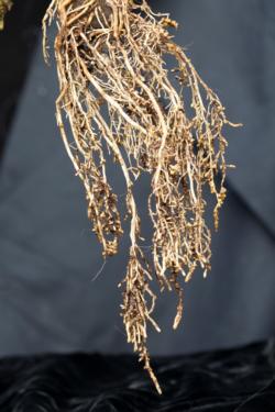 Poinsettia root galls fig1
