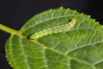 LBAM larva