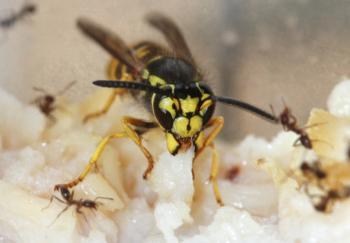 Fig. 1. The western yellowjacket, Vespula pensylvanica. Photo by J. Kabashima.