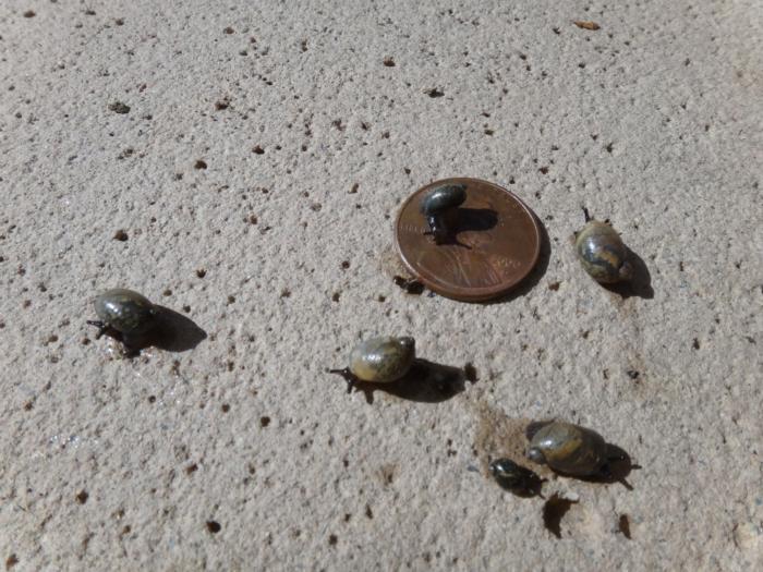 Snails fig 3