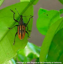 Diaprepes root weevil adult on citrus