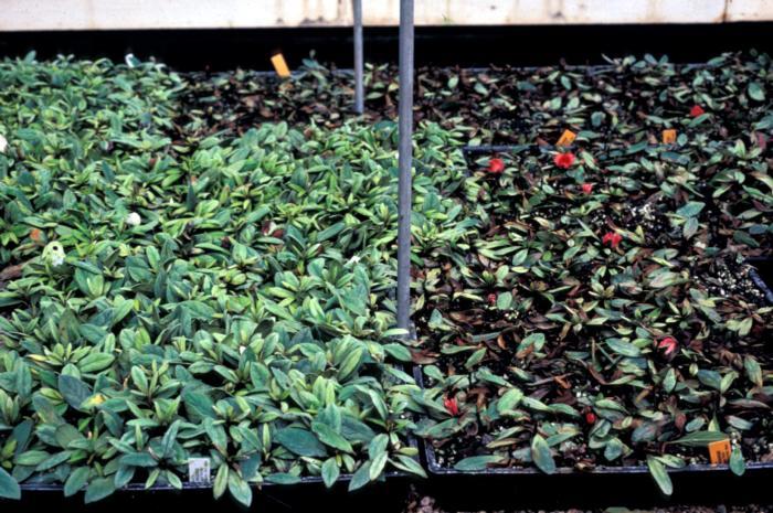 Azalea rhizoctonia